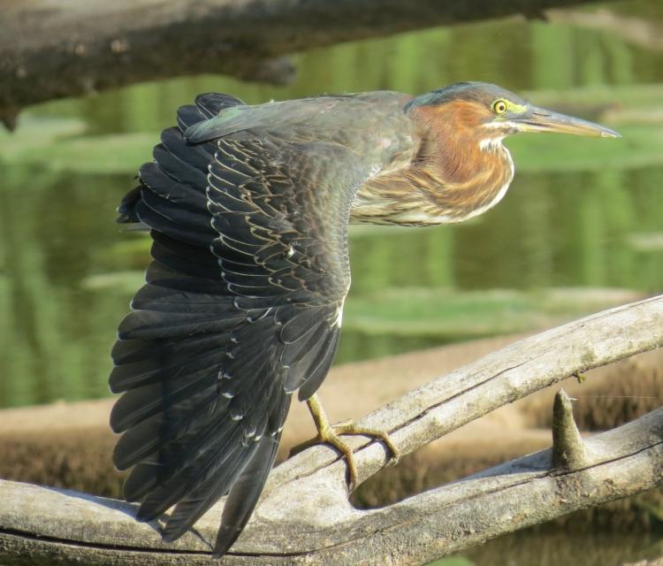 green-heron-stretching-wing