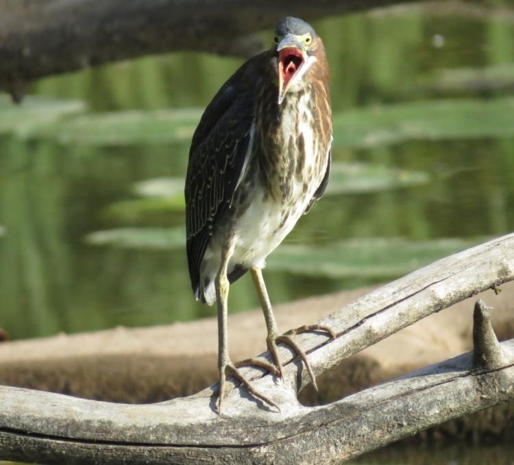 green-heron-yawning
