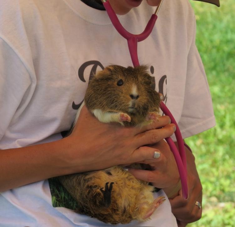 guinea-pig-check-up
