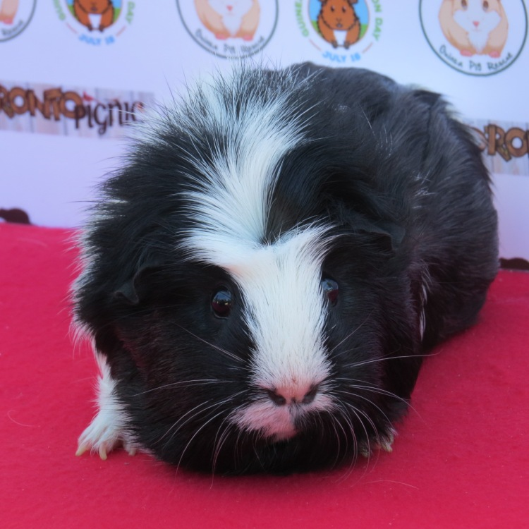 guinea-pig-on-the-red-carpet