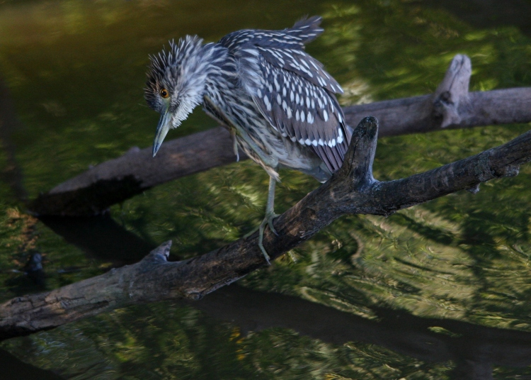 Juvenile Black-crowned Night-Heron having a bit of an scratch