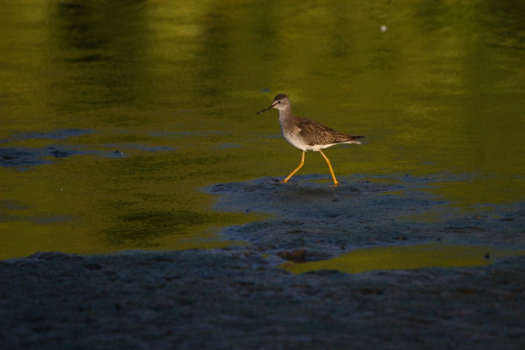 lesser-yellowlegs-2
