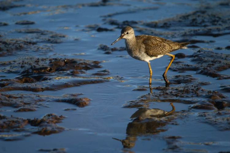 lesser-yellowlegs-3