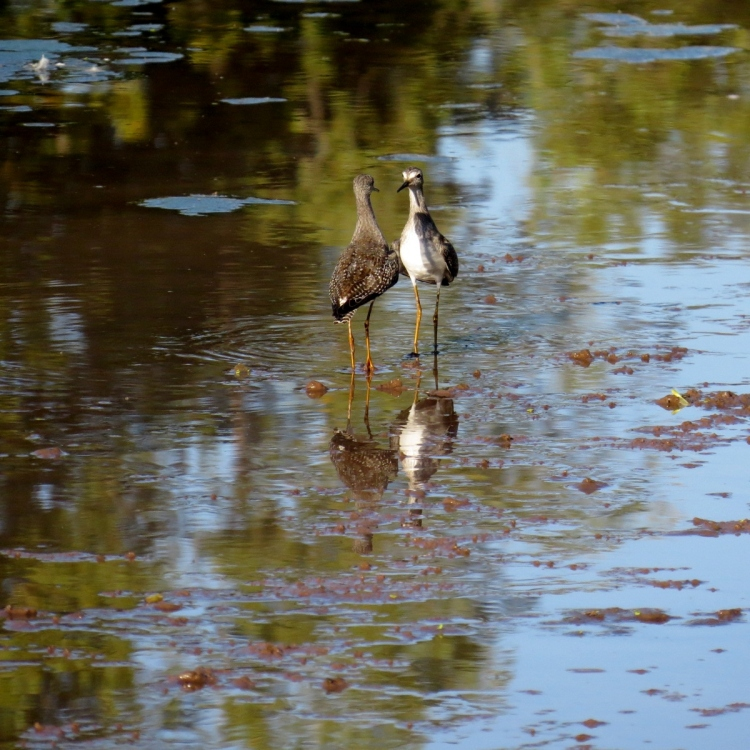 Lesser Yellowlegs stand-off
