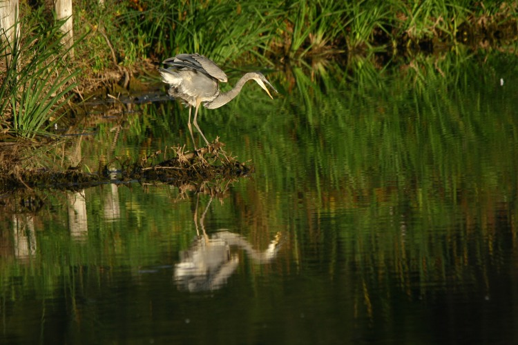 Mirror, mirror on the wall who's the fairest of them all? (Great Blue Heron)