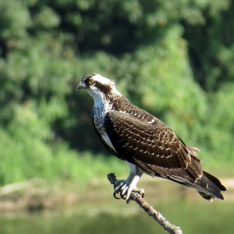 osprey-in-profile