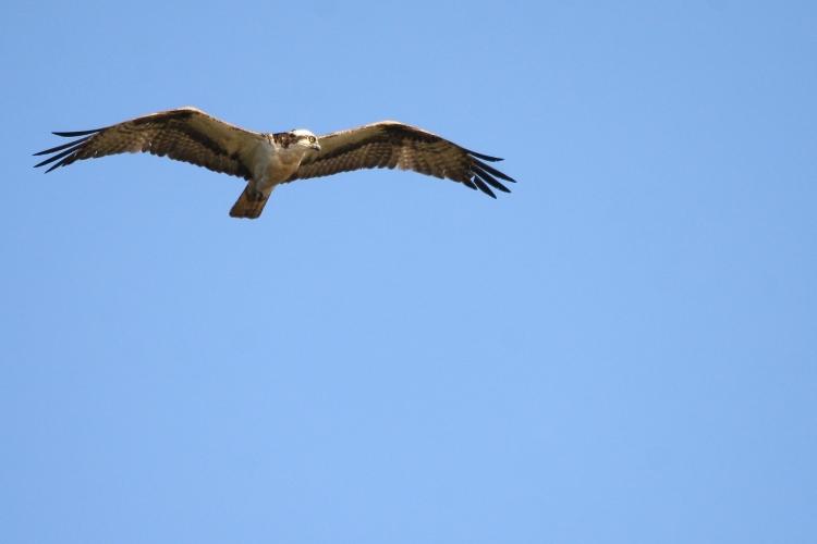 osprey-on-the-hunt