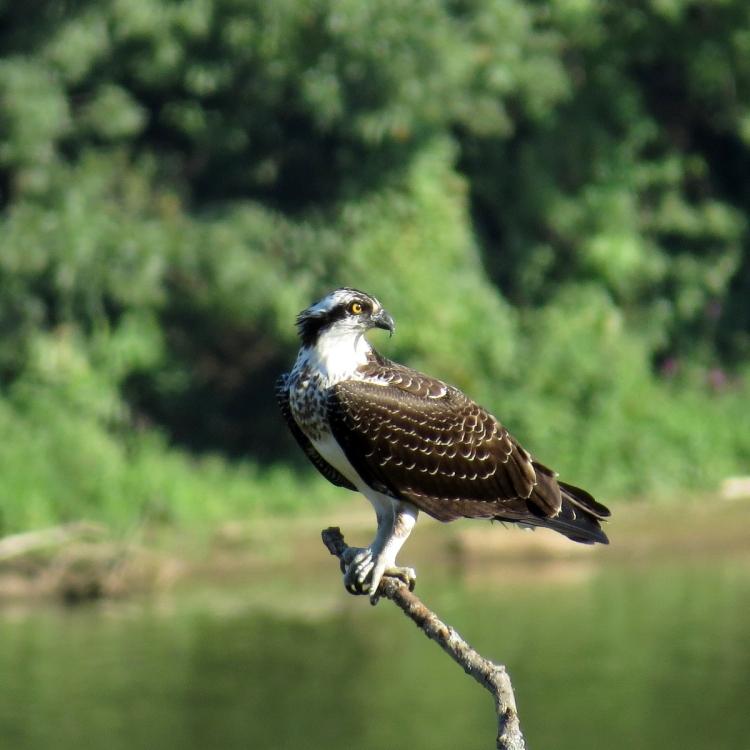 osprey-resting-on-a-branch