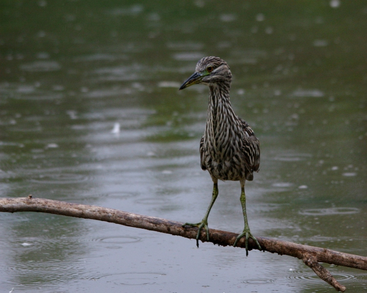 Juvenile Black-crowned Night-Heron rethinking strategy