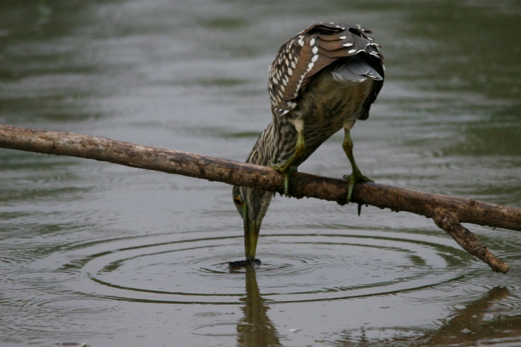 Juvenile Black-crowned Night-Heron retrieving the bit of wood