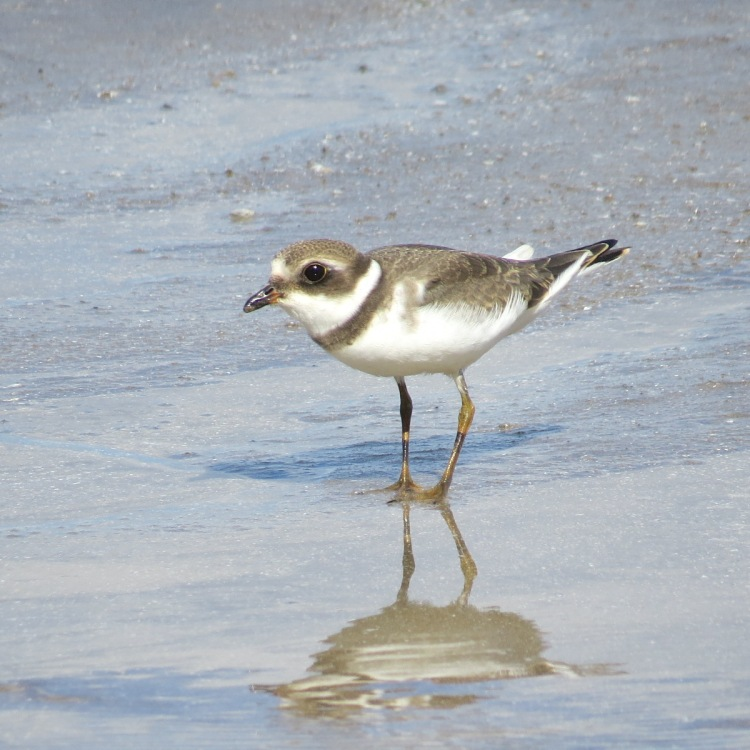 semipalmated-plover-on-the-beach