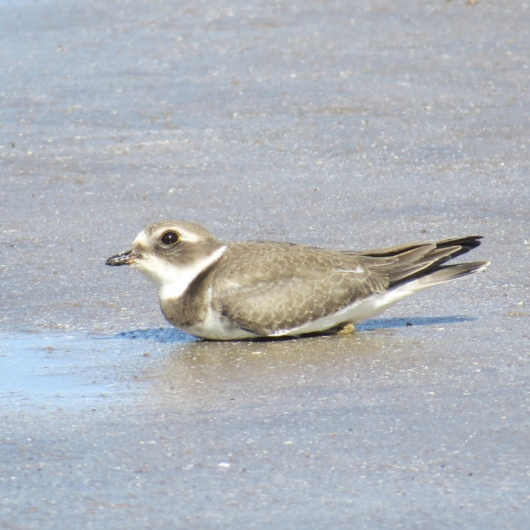 semipalmated-plover-resting-on-the-beach-2