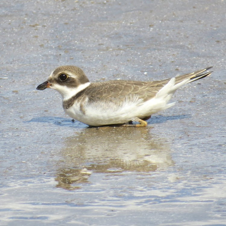 semipalmated-plover-resting-on-the-beach