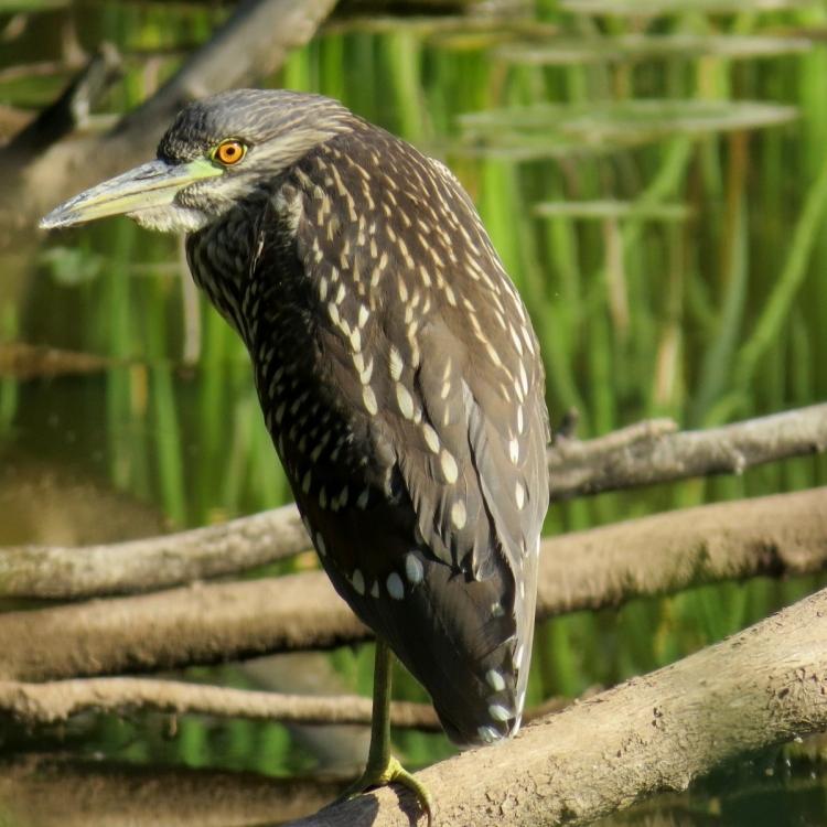 wild-looking-juvenile-black-crowned-night-heron