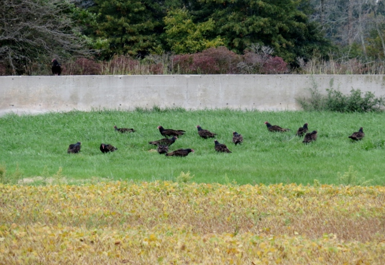 15 Turkey Vultures on the lawn