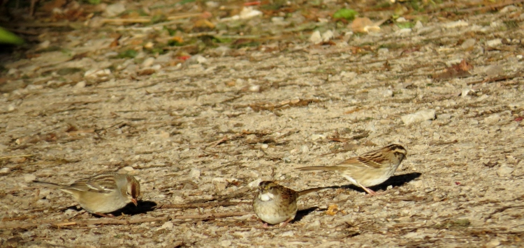 A White-crowned Sparrow foraging in the company of two White-crowned Sparrows