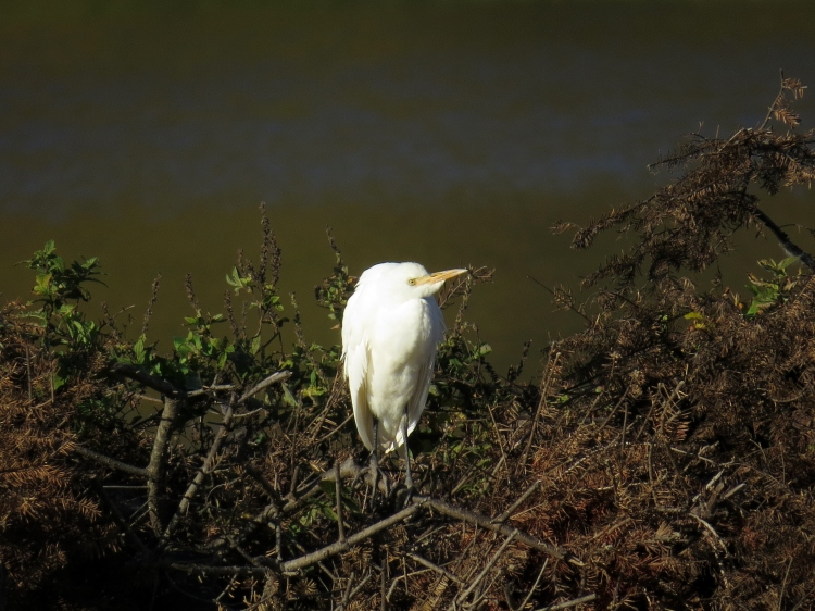 Another look at the Cattle Egret