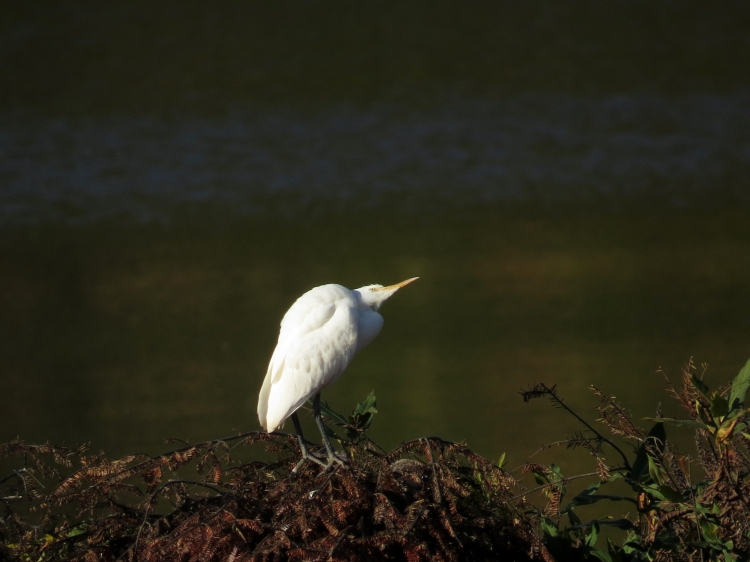 Cattle Egret checking the sky