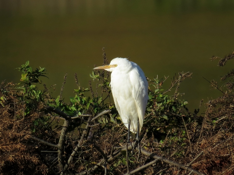 Cattle Egret resting on the berm
