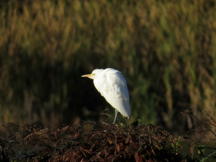 Cattle Egret, Valley Inn, October 14, 2016