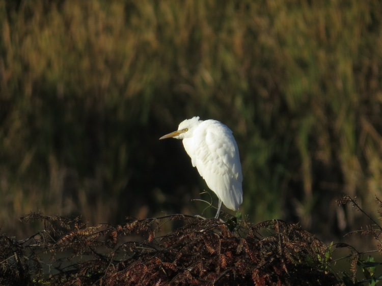 Cattle Egret, Valley Inn
