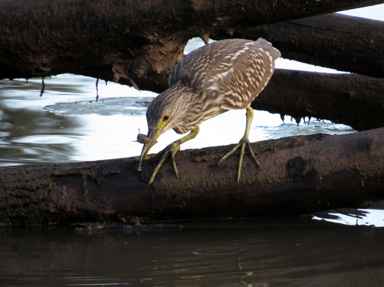 juvenile Black-crowned Night-Heron successfully used bill attract and catch fish