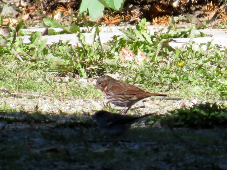 Brief look at a Fox Sparrow