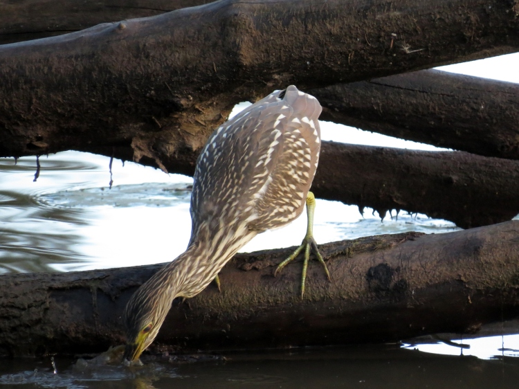 juvenile Black-crowned Night-Heron catches fish