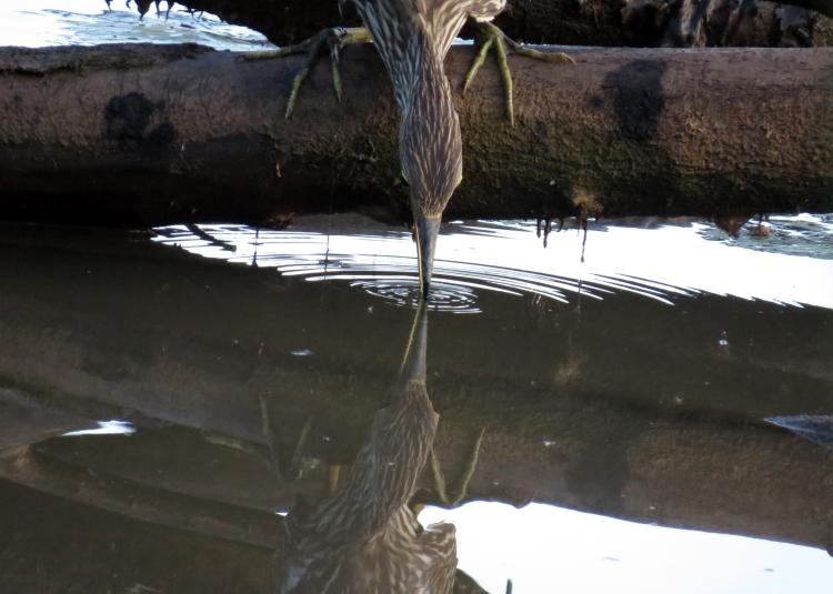 juvenile Black-crowned Night-Heron using bill to attract fish