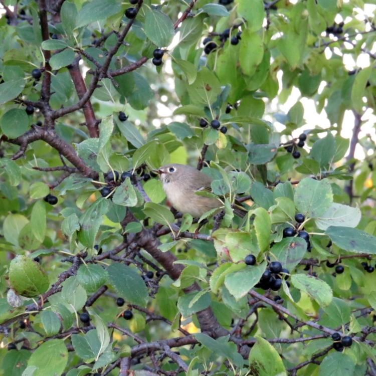 Ruby-crowned Kinglet foraging as best it can with damaged beak