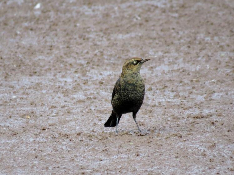 Rusty Blackbird at Valley Inn