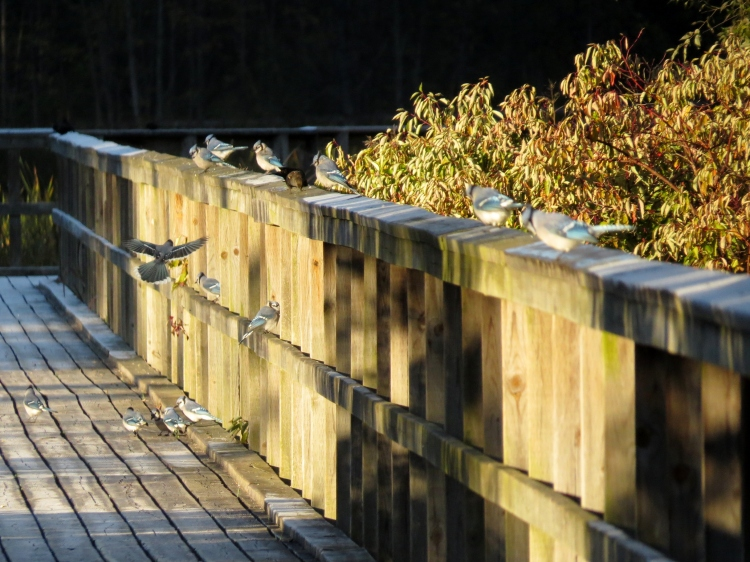 Zoomed in photo of the 13 Blue Jays further down the boardwalk (note the frost)